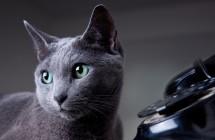 Susipažinkim, aš – britų trumpaplaukis katinas
