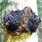 Įžulnusis skylenis (Beržinis juodgrybis)