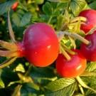 Miškinio erškėčio vaisiai
