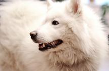 Samojedai – laimingiausi šunys pasaulyje