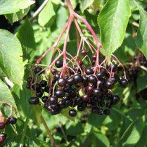 šeivamedžio vaisiai nuo hipertenzijos)